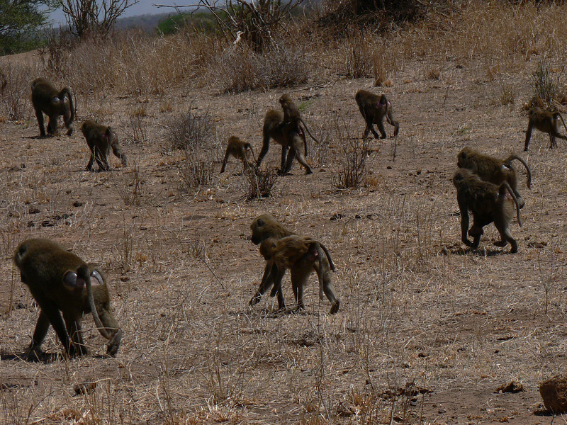 Papio cynocephalus, Yellow Baboon