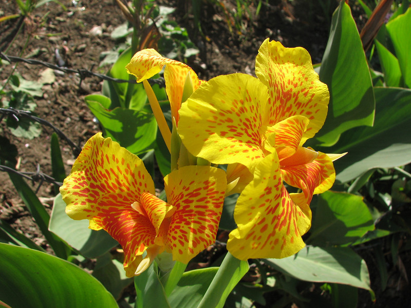 Canna indica (native to tropical America)
