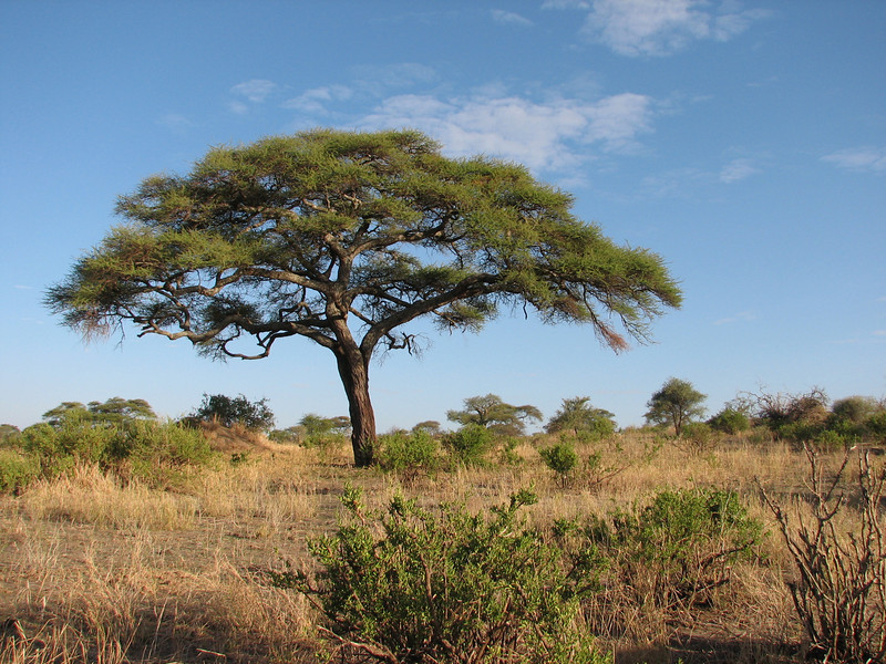 Acacia tortilis, umbrella thorn