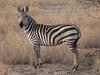 Equus burchelli, Burchells Zebra