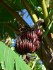 Musa spec. (sweet red banana)