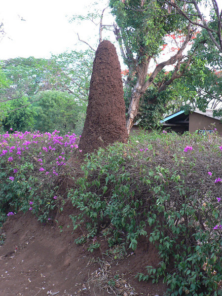 Earth mounds built by Termites, Moshi, Tanzania
