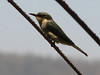 Merops pusillus (little bee-eater)