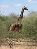 Giraffa camelopardalis,   maasai giraffe
