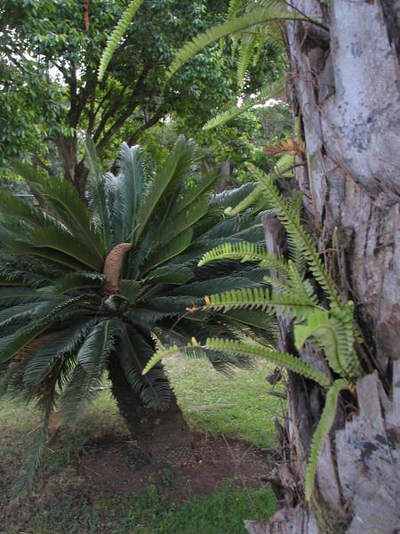 Encephalartos hildebrandtii, Cycad
