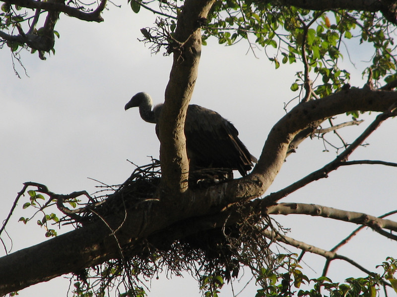 Gyps africanus,  African white-backed vulture