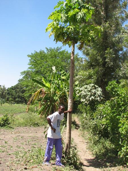 Carica papaya (papaya, native to tropical America)