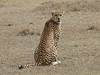 Acinonyx jubatus,   cheeta