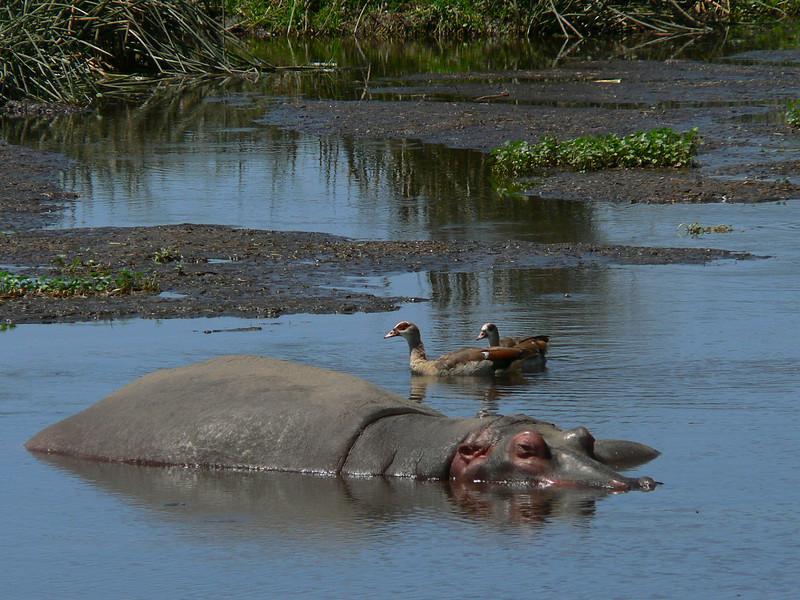 Hippopotamus amphibius, hippo