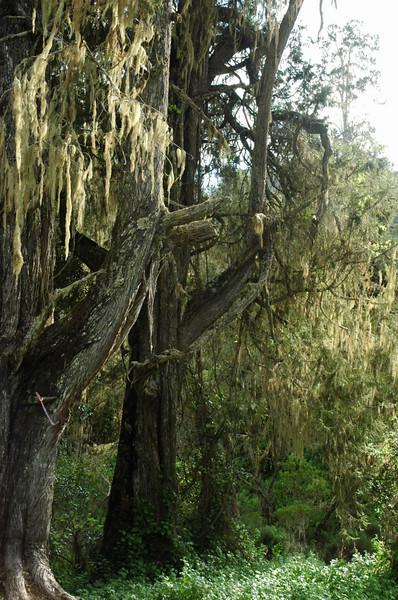 Usnea spec. Bearded Lichen, tropical forest Kili
