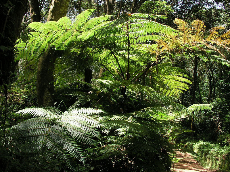 Cyathea manniana (tree-fern, Kilimanjaro tropical forest)