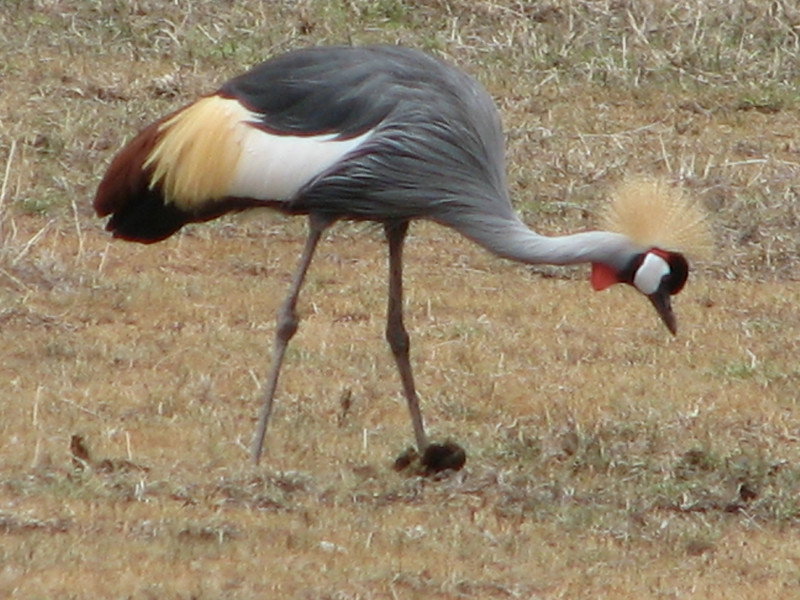 Balearica regulorum,  grey crowned-Crane