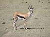 Gazella rufifrons thomsonii, Thomsons Gazelle