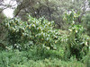 Datura spec. Londorosi Gate_Lemosho-route