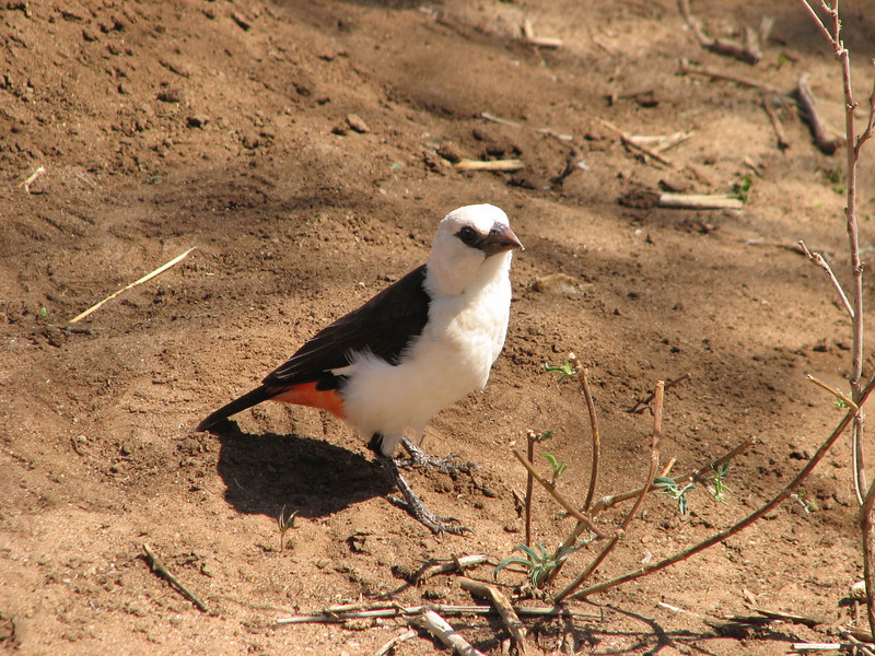 Denemillia dinemelli,  white-headded buffalo-weaver