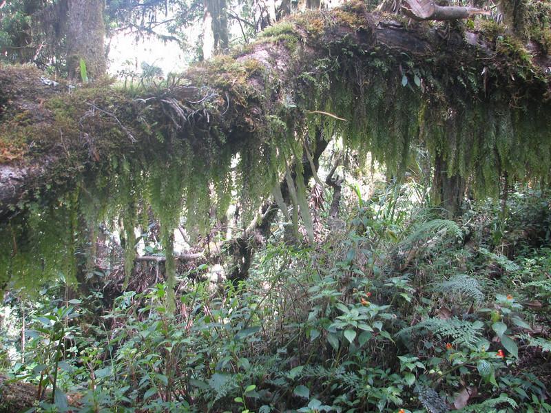 habitat of Impatiens kilimanjari (Kilimanjaro endemic spec.)