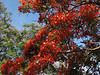 Delonix regia, flamboyant tree, (Moshi), native to Madagaskar