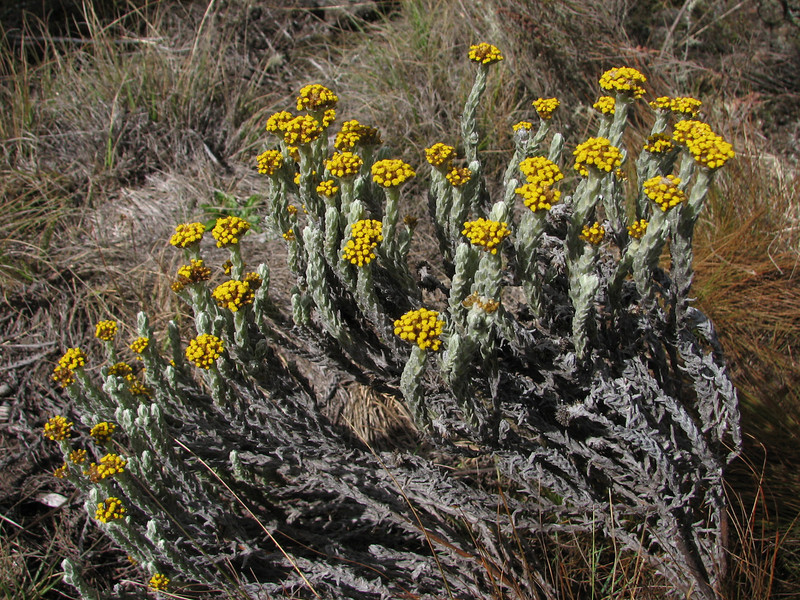 Helichrysum cymosum (Shira plateau Kilimanjaro )