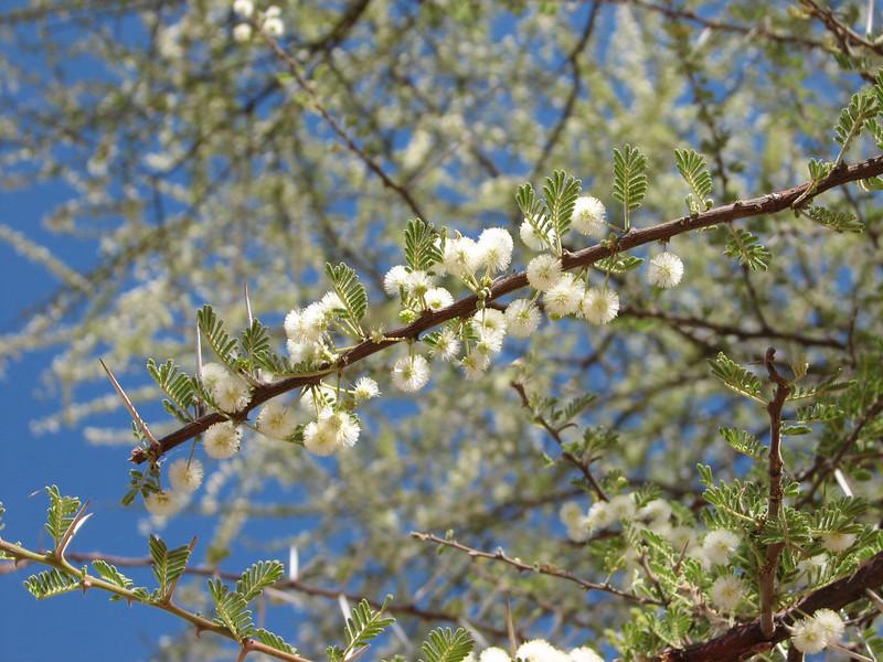 Acacia tortilis, umbrella thorn