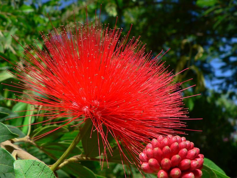 Metrosideros exelca (ironwoodtree, native to New Zealand)