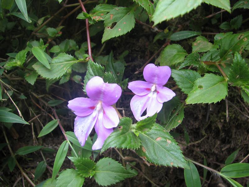 Impatiens papilionacea (Kilimanjaro)