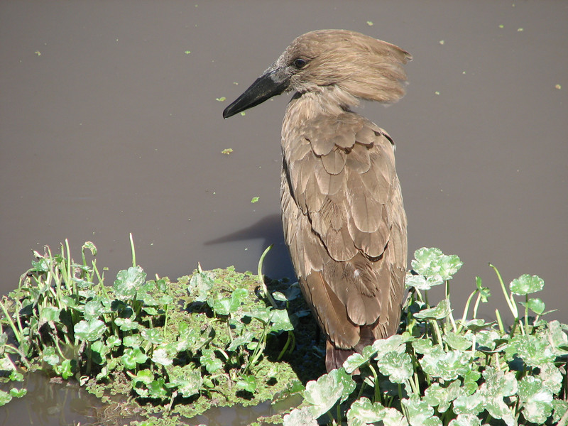 Scopus umbretta, hamerkop
