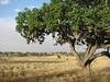 Kigelia africana,   sausage tree