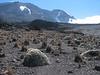 Helichrysum brownei, Shira Camp 3891m-Arrow Glacier Camp 4872m