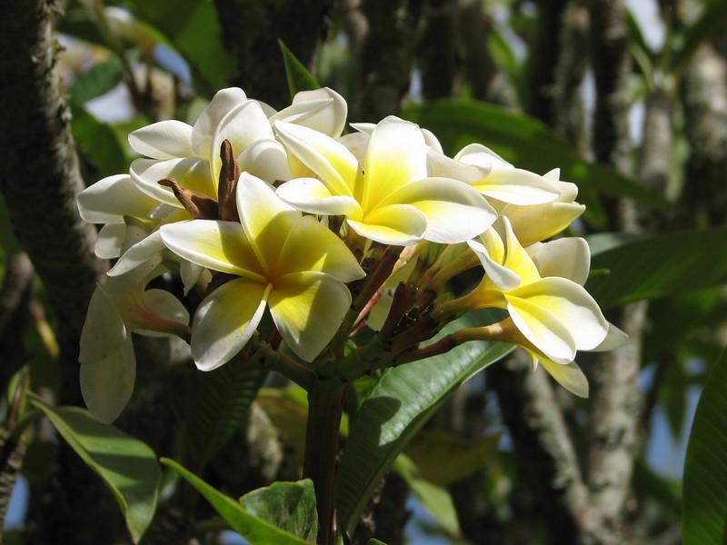 Pulmeria alba, White Frangipani, (native to Mexico to Ecuador, Central America)