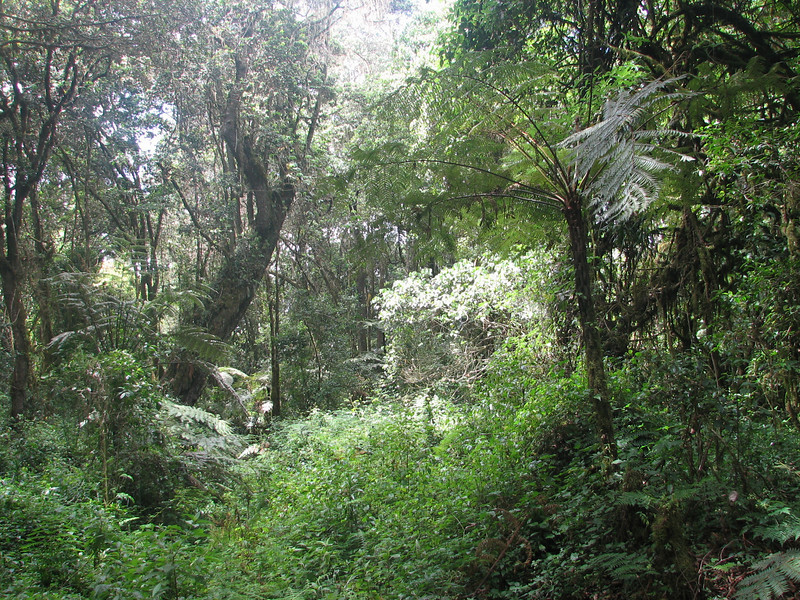 Cyathea manniana (tree-fern, Kilimanjaro tropical forest)
