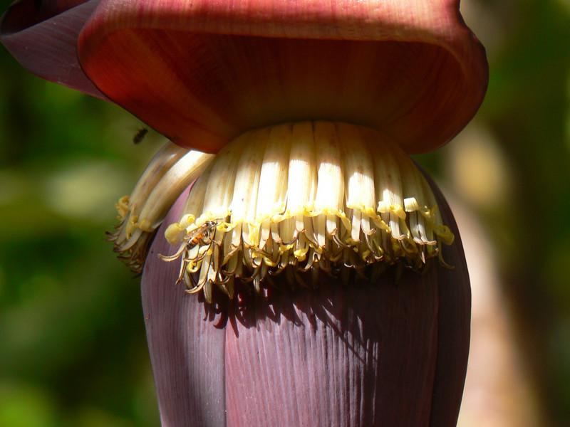 Musa sapientum (sweet banana)