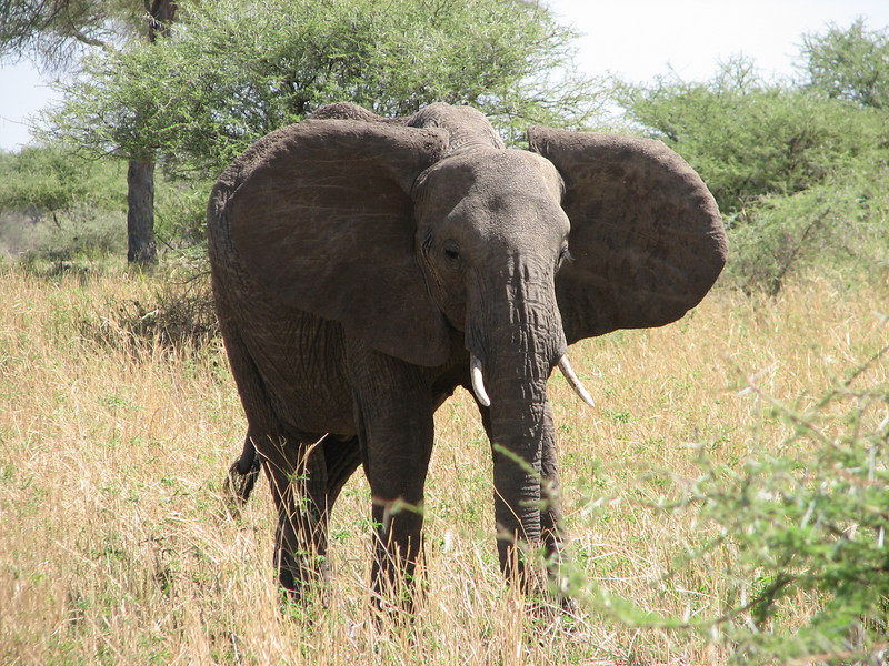 Loxodonta africana,   African elephant