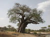 Lake Manyara National Park, Adansonia digitata,   Baobab tree