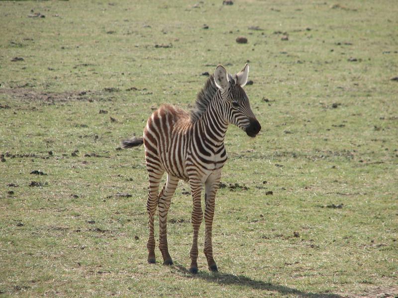Equus burchelli, Burchells Zebra, juvenile