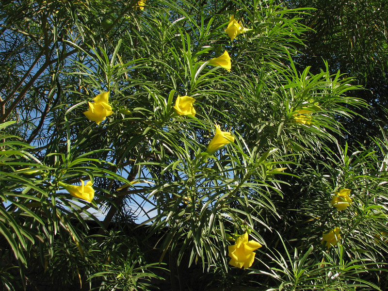 Thevetia thevetioides (Yellow oleander, native rto Central and South America)