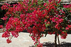 Bougainvillea glabra, (native to Brasil)