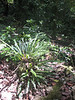 fern (Kilimanjaro tropical forest)