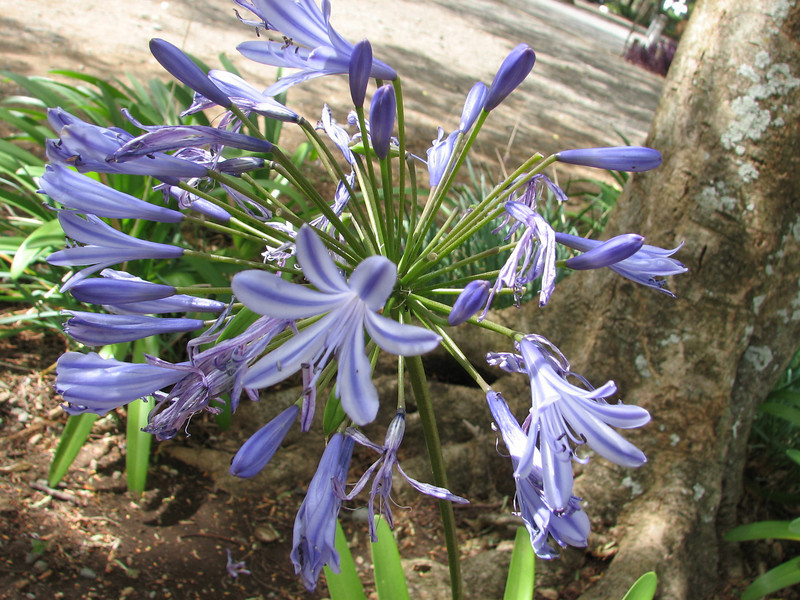 Agapanthus africanus, Blue African Lily, (native to South Africa)