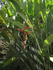 Heliconia psittacorum (Tanzania)native to South Africa