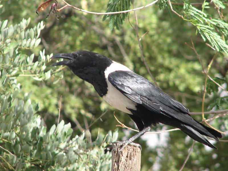 Corvus albus,  pied crow