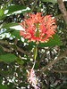 Hibiscus schizopetalus, Coral hibiscus (native to China)
