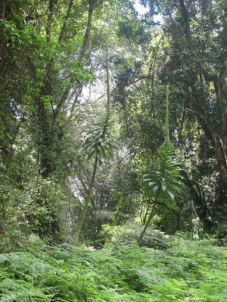 Lobelia gibberoa (Kilimanjaro tropical forest) grows to 10 m high