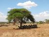 Acacia sieberiana,