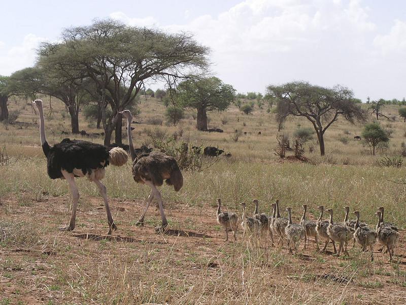 Struthio camelus, Ostrich