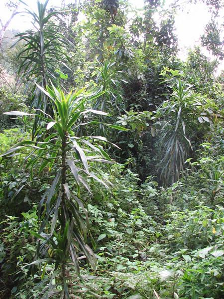 Dracaena spec. (1800 - 2800m.Kilimanjaro)