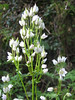 Swertia kilimandscharica, (syn. S. erosula, S. schimperi), swamp places, Kilimanjaro forest 2100-3000m