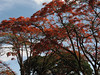 Delonix regia, flamboyant tree, (Moshi)