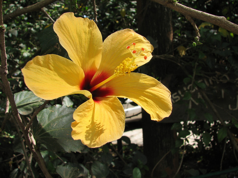 Hibiscus rosa-sinensis (native to China)