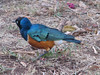Spreo superbus (superb starling)