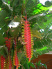 Heliconia rostrata (native to Brazil)